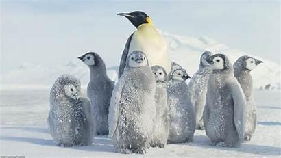 Penguin Emperor Wallpapers
