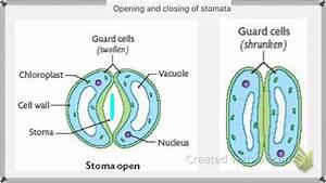 Stomata Opening And Closing