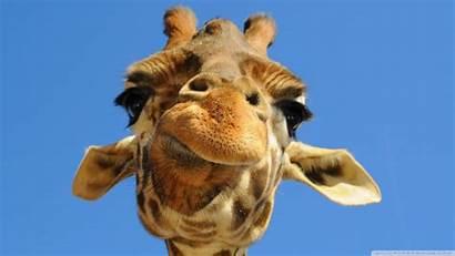 Giraffe Funny Desktop Wallpapers Background Wide Computer