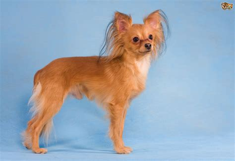 No Shedding Dog Breed by Russian Toy Terrier Dog Breed Information Buying Advice