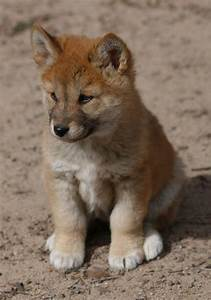 Dingo Pup - a photo on Flickriver