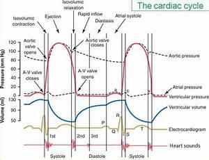 Physio Cardiovascular Study Guide  2011