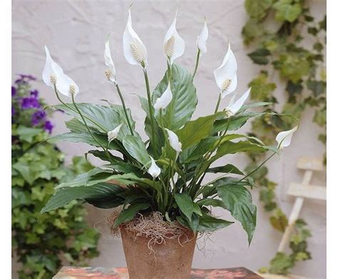 Gardens4you Spathiphyllum Chopin Peace Lily
