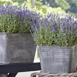 Lavendel Pflanzen Im Topf : mein sch ner garten pflanzen garten gartentipps ~ Frokenaadalensverden.com Haus und Dekorationen
