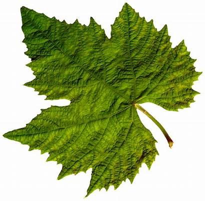 Leaf Leaves Pngimg