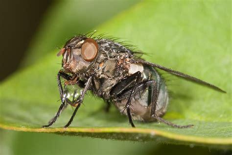 fly cuisines regurgitation digestion wikiwand