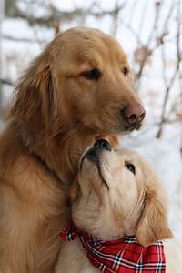 Golden Red River : 1000 images about sweet goldens 2 on pinterest golden retrievers golden retriever puppies ~ Orissabook.com Haus und Dekorationen