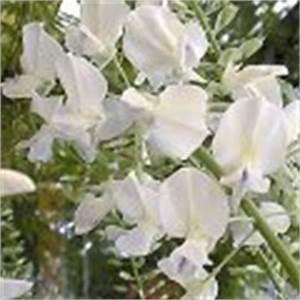 Blauregen Im Kübel : glyzine japanischer blauregen edelblauregen wisteria floribunda schneiden pflege pflanzen ~ Frokenaadalensverden.com Haus und Dekorationen