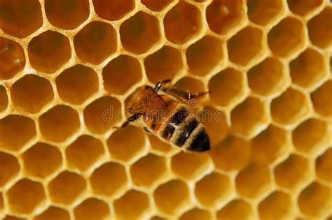 Abelha No Favo De Mel Fotos de Stock Imagem: 15100953