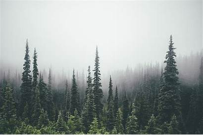 Pine Forest Trees Tree Line Wallpapers Foggy