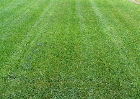 types of lawns raleigh cary nc lawn grass types bermuda fescue zoysia grass species