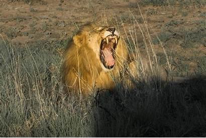 Safari South Madikwe Lion African Wildlife Africa