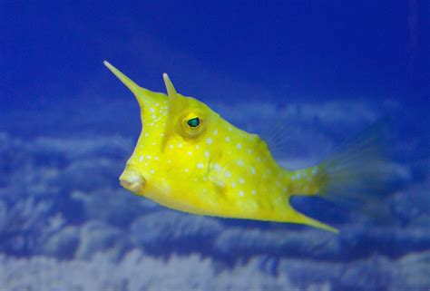 cowfish horned species marine ocean duperrin bertrand nd nc cc superheroes mutant whale narwhal nature