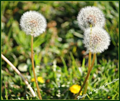 Flower You Blow Make A Wish And Blow The Dandelion Weed Or Herb