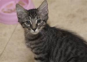 Cubby the Fun Maine Coon Mix Kitten's Web Page