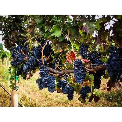 Arizona vineyard picture