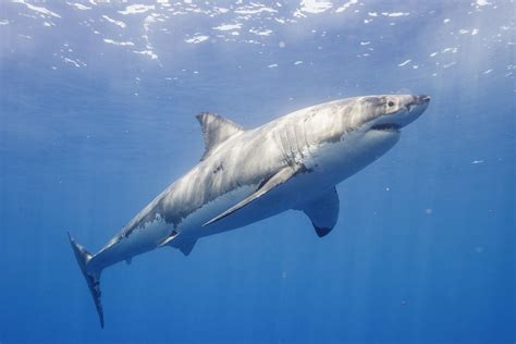 amy  great white shark returning  outer banks