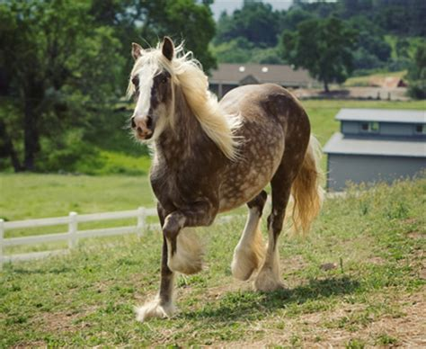 black jacks kendra show horse gallery