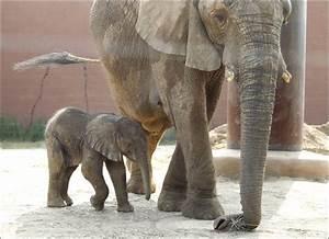 New elephant on exhibit at Toledo Zoo - Toledo Blade
