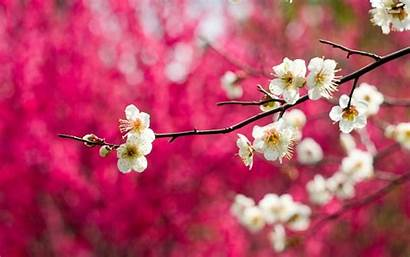 Blossoms Wallpapers Cherry