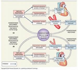 Cardiovascular System  Short