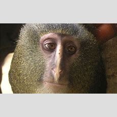 New Monkey Species Identified In Democratic Republic Of Congo  Environment  The Guardian
