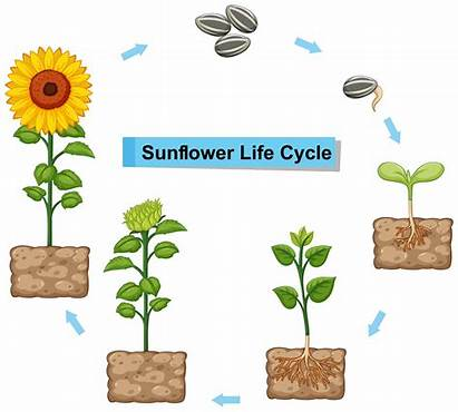 Cycle Sunflower Diagram Showing Vector Plant Illustration
