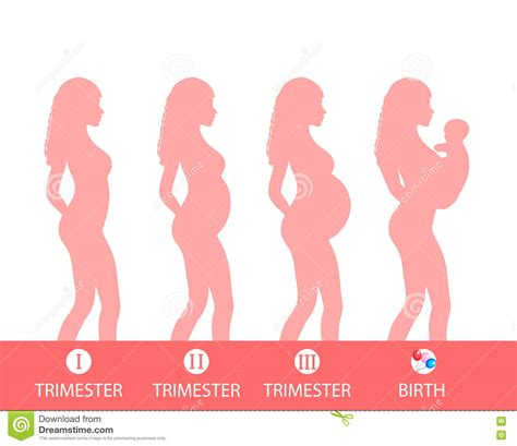 pregnancy trimesters developmental stages stock image cartoondealer 23829751