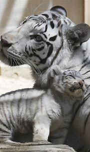 White tiger's coat comes from single change in gene ...