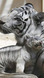 White tiger's coat comes from single change in gene   The Star