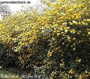 Blühende Hecke Schnellwachsend : heckenpflanzen bl hende hecke als sichtschutzhecke ~ Eleganceandgraceweddings.com Haus und Dekorationen