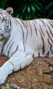 White tiger cubs maul keeper to death in India - World ...