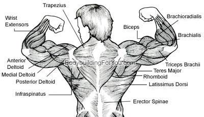 upper  muscle exercise latissimus dorsi muscle