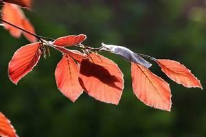 Bäume Schneiden Wann : rotbuchenhecke wann sollten sie sie schneiden ~ Lizthompson.info Haus und Dekorationen