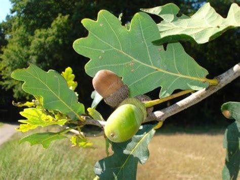 cuisine plantes sauvages comestibles le chêne pubescent nature gastronomique et médicinale