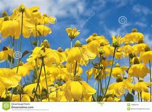 Gelbe Sommerblumen Mehrjährig : gelbe sommerblumen stockfoto bild von blumenblatt niemand 13908476 ~ Frokenaadalensverden.com Haus und Dekorationen