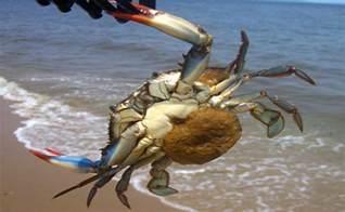 Maryland Blue Crabs