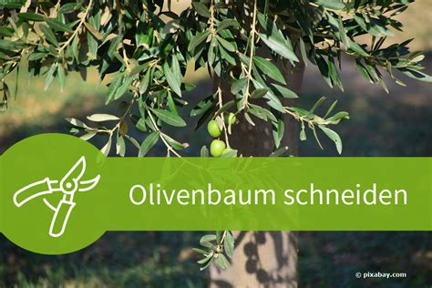 baum komplett zurückschneiden olivenbaum schneiden 4 schnittanleitungen f 252 r ein mediterranes flair