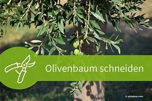 Eibe Schneiden Beste Zeit : olivenbaum schneiden 4 schnittanleitungen f r ein mediterranes flair ~ Frokenaadalensverden.com Haus und Dekorationen