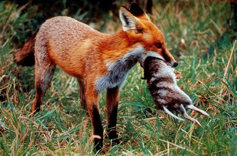 what do foxes eat foxscan gt foxes prey on our native animals