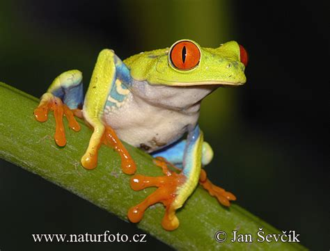 agalychnis callidryas pictures red eyed tree frog images