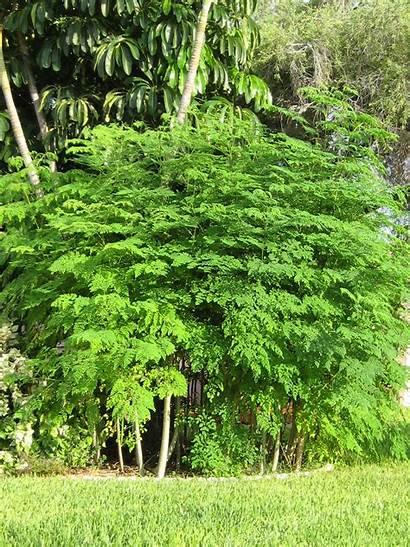 Moringa Tree Trees Tea Oleifera Seeds Leaves