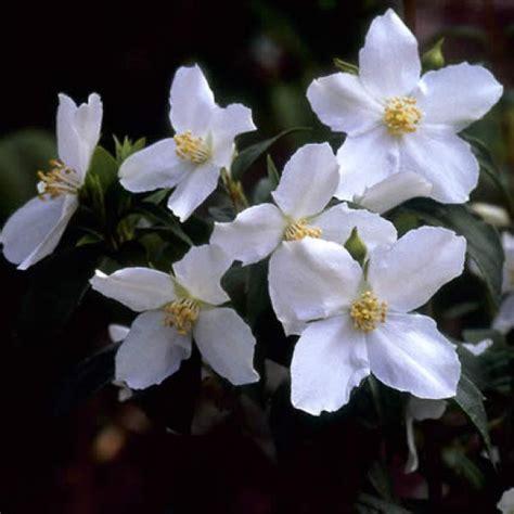 top 10 bloemen top 10 bloeiende struiken met geur struiken met bloemen