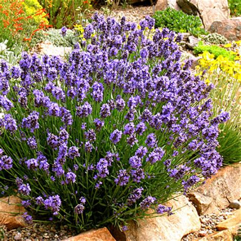 lavender bushes perennials lavender 20 best perennial flowers sunset