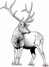 Coloring Elk Deer Pages Printable Animals Gorgeous Mountain Rocky Colouring Drawing Adult Forest Printables Moose Sketches Azcoloring Woodland Az Cut sketch template