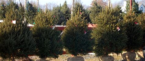 real potted christmas trees for sale asda mclaughlin tree farm