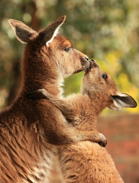Once You See Inside A Kangaroo's Pouch There's No Going Back