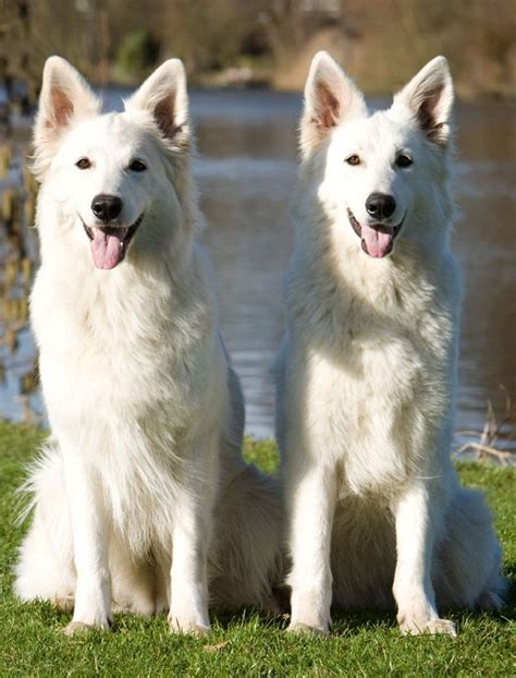 ideas  white shepherd  pinterest white