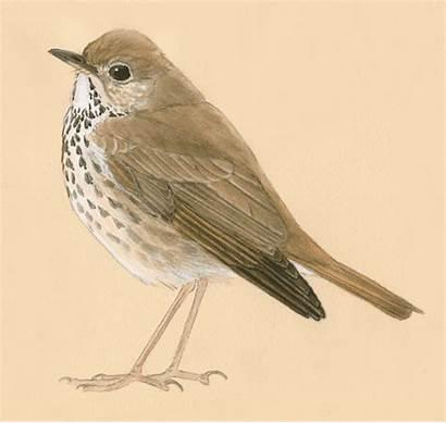 Birds Drawing Thrush Bird Draw Inside Nature