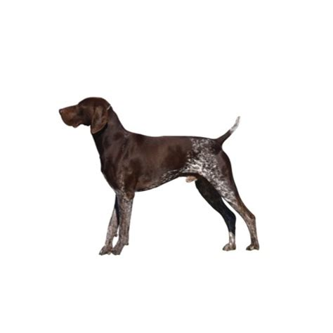German Shorthaired Pointer Shedding by German Shorthaired Pointer Puppies Petland Novi